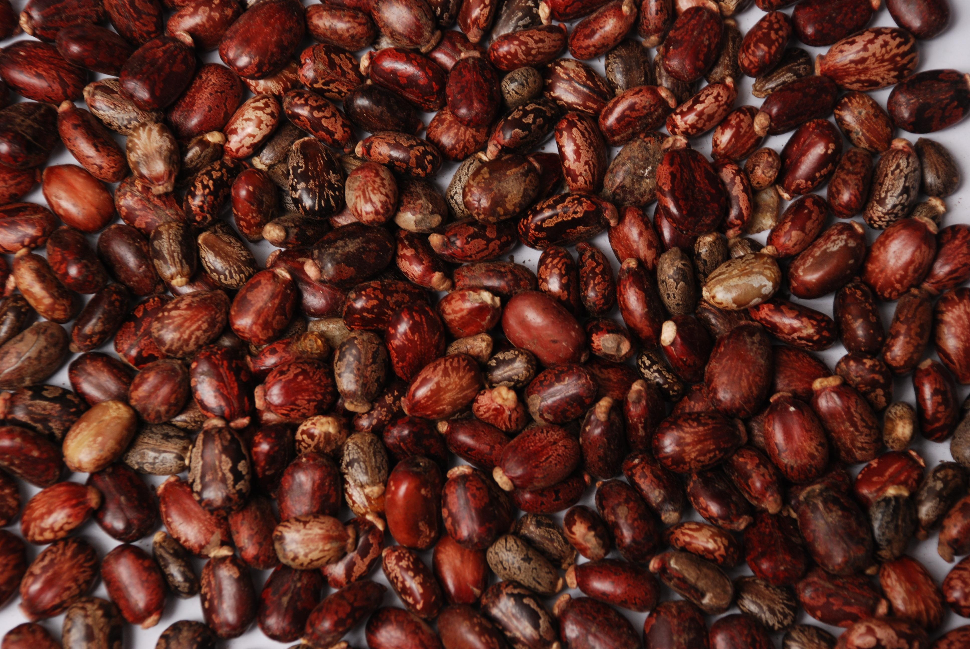 Castor Seeds Specifications Valency International Trading